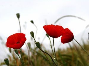 free-red-poppies-in-the-rain-wallpaper_1600x1200_88038
